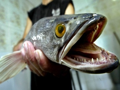 Photo snakehead fish catch a 200 reward from maryland for Maryland state fish