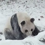 Panda cub reaction when seeing snow for first time at Toronto zoo (Video)