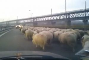 Sheep on A2 freeway crossing a bridge over Danube river (capture: youtube)