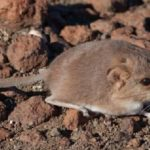 "World's smallest ""elephant"" lives in Namibia"